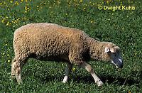SH01-034z  Sheep