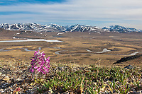 Wooly lousewort, Nigu River, Brooks Range mountains, Gates of the Arctic National Park, Alaska.