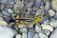 Große Höckerschrecke, Weibchen, Arcyptera fusca, Stethophyma fusca, Large banded grasshopper, female, L'Arcyptère bariolée, Le Criquet bariolé
