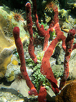 Red sponge and sea urchins. St. John. Virgin Islands Virgin IslandsVirgin Islands Coral Reef National Monument.