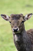 Damhirsch, Dam-Hirsch, Damwild, Hirsch, Männchen, Geweih beginnt zu wachsen, Dam-Wild, Cervus dama, Dama dama, fallow deer