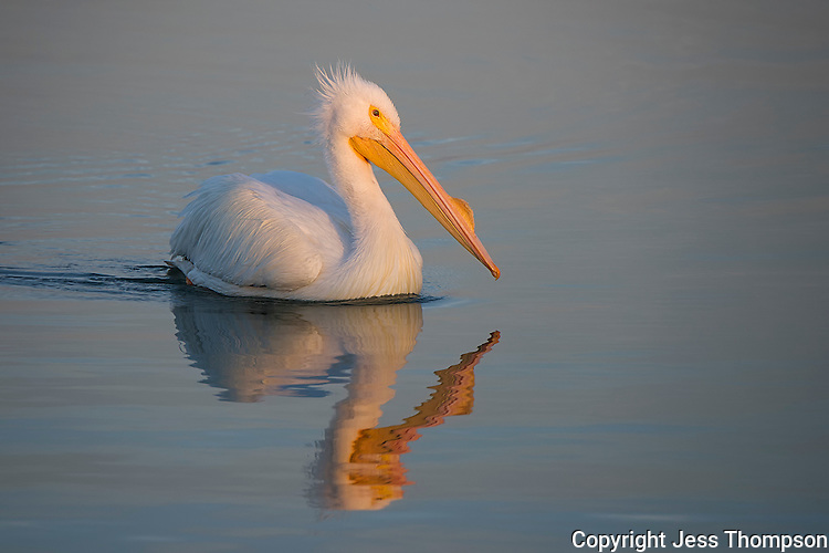 American White Pelican with evening sun.