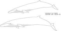 Sei whale, Balaenoptera borealis, illustration by the artist Wyland