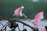 Roseate Spoonbills.  Mating behavior. Ding Darling National Wildlife Refuge, Florida.  March.