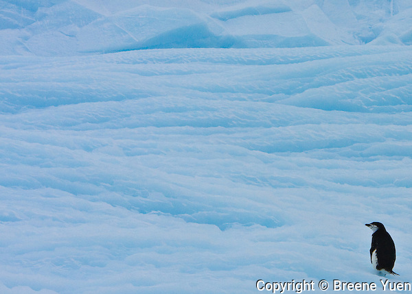A lone Chinstrap Penguin ponders its next step on a blue iceberg near Point Wild, Antarctic Peninsula, November 2007