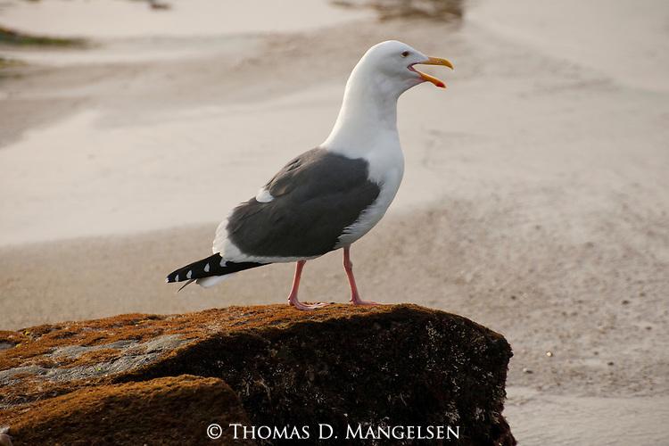 A western gull calling from a rock along the beach in La Jolla, California.