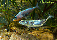 1S53-517z  Threespine Stickleback, male showing gravid female the entrance to his nest, Marine form, Gasterosteus aculeatus