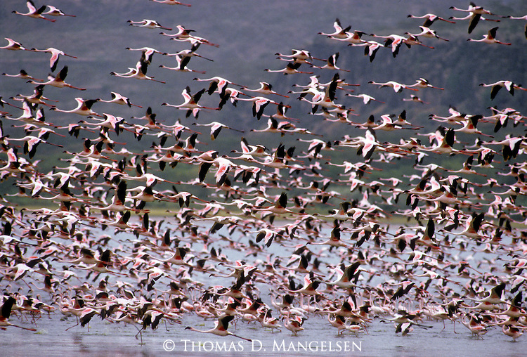 The shallow waters of Lake Nakuru in Kenya, attract thousands of lesser flamingos to feed and roost in safety.