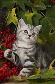 Carl, ANIMALS, photos(SWLA3728,#A#) Katzen, gatos