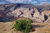 Utah juniper and Waterpocket Fold<br />   from Halls Overlook<br /> Capitol Reef National Park<br /> Colorado Plateau,  Utah