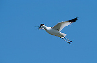 Säbelschnäbler, im Flug, Flugbild, Recurvirostra avosetta, avocet