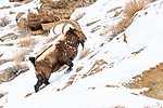 Adult male Siberian ibex (Capra sibirica)(Himalayan subspecies, Capra sibirica sakeen) - having just escaped predation by a snow leopard (Panthera uncia) - see scarring and wounds on flank. Ladakh Ranges, western Himalayas, Ladakh, India.