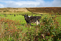 Dairy cows, Macclesfield, Cheshire.