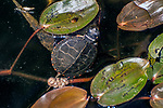 painted turtle newborn hatchling hiding in weeds
