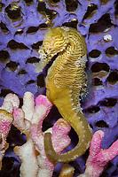 Lined seahorse ( Hippocampus erectus ) ( c ) (do)