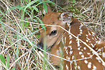 White-tailed deer (Odocoileus virginianus) fawn hiding in the brush