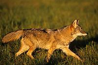 Coyote (Canis latrans).  Uppoer Great Lakes region. Fall.