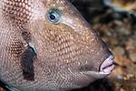 Grey Triggerfish swimming right close-up