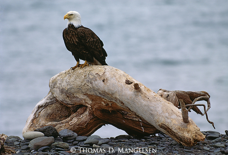 An eagle perches on a stump on a rocky shore in Southeast Alaska.