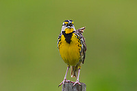 Eastern Meadowlark facing camera on fence post, singing