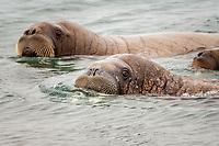 Atlantic walruses, Odobenus rosmarus rosmarus, Torellneset Island, Svalbard, Norway, Europe, Arctic Ocean