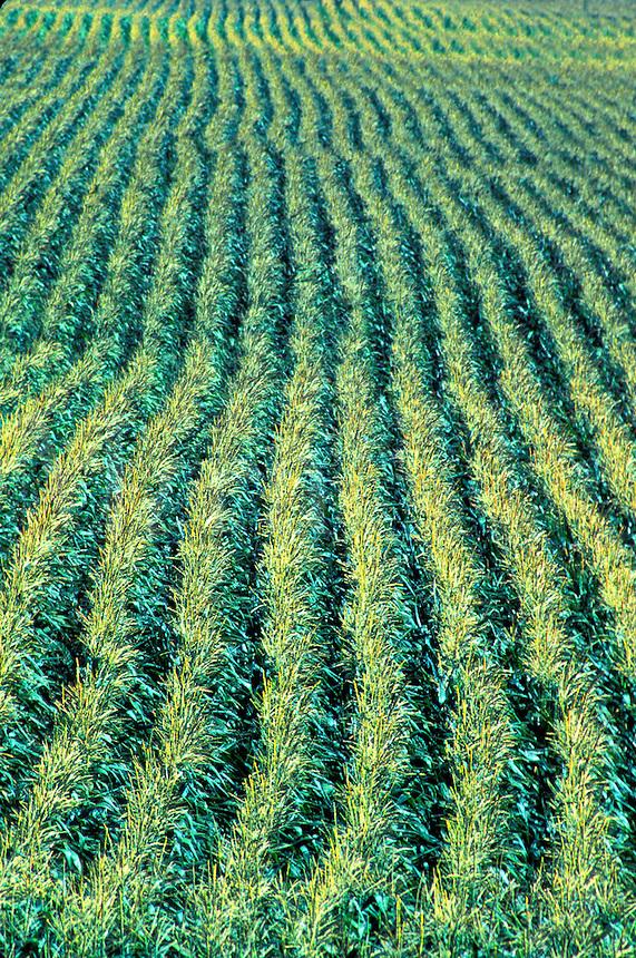corn plant rows California