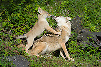 Coyote and cub playing outside the den