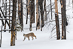 North American Bobcat (Lynx rufus) walking through charred Lodgepole Pine (Pinus contorta) forest. Madison River Valley, Yellowstone National Park, Wyoming, USA. January