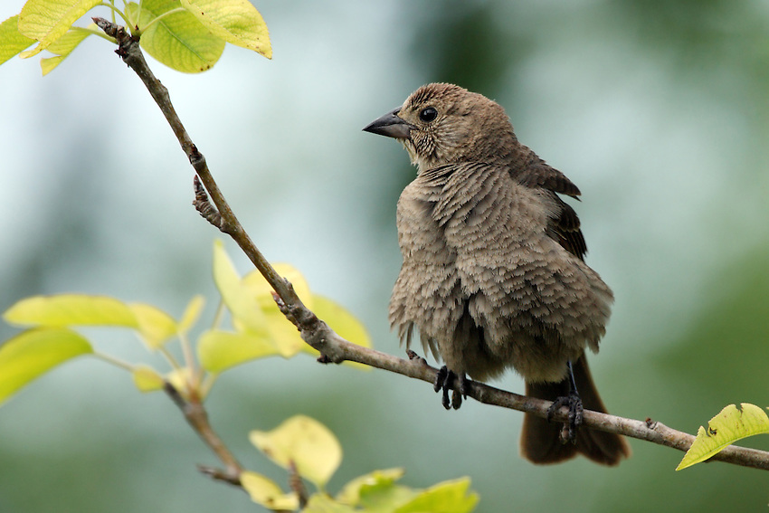You'll find Brown-headed Cowbirds in many open habitats, such as fields, pastures, meadows, forest edges, and lawns. When not displaying or feeding on the ground, they often perch high on prominent tree branches.