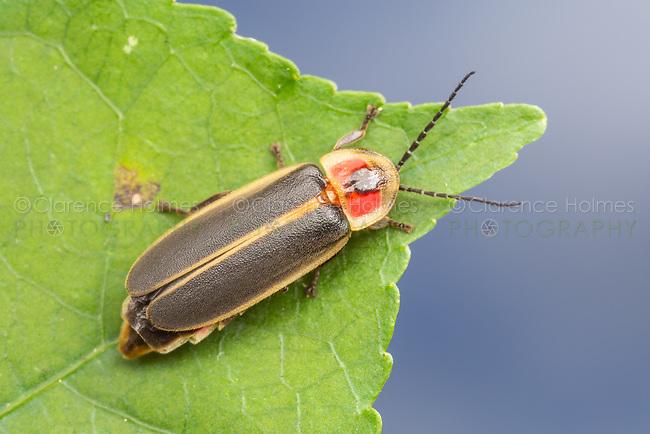 Common Eastern Firefly (Photinus pyralis)
