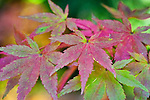 Maple Leaves in fall color.  The Japanese Garden in Portland is a 5.5 acre respit.  Said to be one of the most authentic Japanese Garden's outside of Japan, the rolling terrain and water features symbolize both peace and strength.