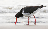 Pied and sooty oystercatchers were a common sight on the beaches of Bruny Island.