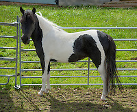 American miniature horse, Cheshire. Mare.