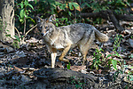 Adult golden jackal (Canis aureus). Kanha National Park, Madhya Pradesh, Central India.
