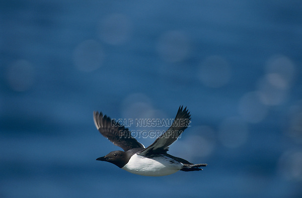 Common Murre, Uria aalge, adult in flight, Hornoya Nature Reserve, Vardo, Norway, June 2001