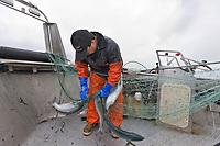 Commercial fisherman Bill Webber removes sockey salmon from his drift gill net during an opener on the Copper River Delta flats, near Cordova, Alaska.