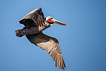 La Jolla, California; a brown pelican with red and yellow breeding plumage flying against a blue sky, in early morning sunlight