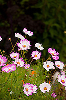 Bi-color cosmos flowers in garden as insectary pollinator plant; Lynmar Estate Winery