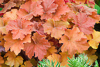 Heuchera Caramel orange leaved foliage plant