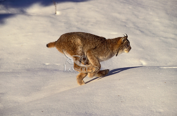 LYNX - large furry feet & flexible spine enable speed on top of snow. Winter.  Rocky Mountains. (Felis lynx canadensis).......................