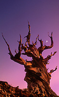 730252018 an ancient bristlecone pine pinus longeava bathed in the soft light of the setting sun as a moon rises between branches in schulman grove in the ancient bristlecone forest protected area of the white mountians in central california
