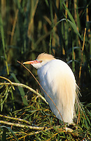 Kuhreiher, Kuh-Reiher, Ardeola ibis, Bubulcus ibis, cattle egret, buff-backed heron