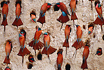 Southern carmine bee-eaters, Botswana (Digital composite)