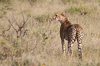 Cheetah in Samburu National Park, Kenya