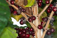 Kaffee, Arabischer Kaffeestrauch, Kaffee-Strauch, Frucht, Früchte, Kaffeebohnen, Arabica-Kaffee, Bergkaffee, Coffea arabica, coffee