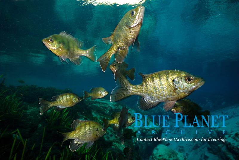 Bluegill, Lepomis macrochirus, Alexander Springs, Florida