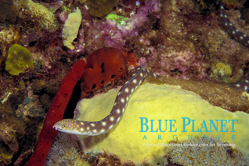 sharptail eel (snake eel), Myrichthys breviceps, hunting on coral reef at night, Commonwealth of Dominica (Eastern Caribbean Sea), Atlantic