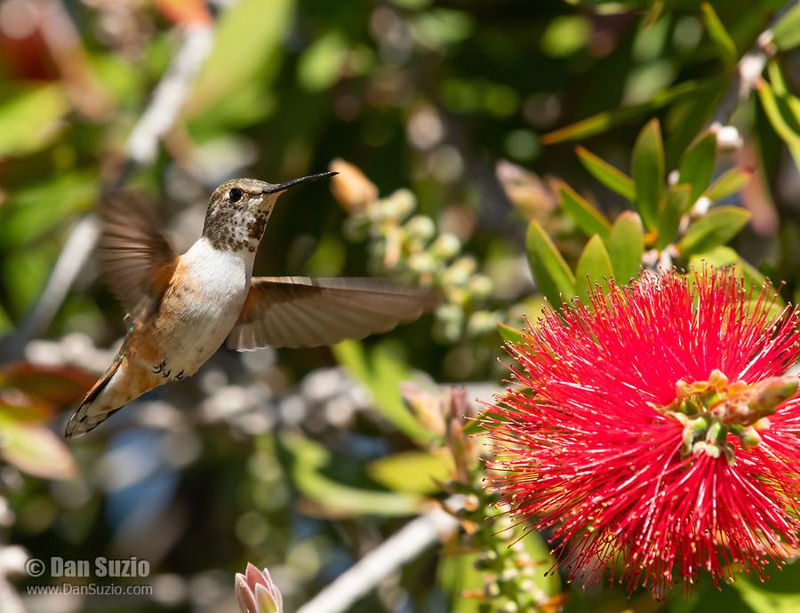 Female Rufous Hummingbird, Selasphorus rufus, feeds from a Bottlebrush flower, Callistemon sp., at Sacramento National Wildlife Refuge, California