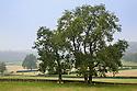 Ash trees {Fraxinus excelsior}, Peak District National Park, UK, Derbyshire. August.