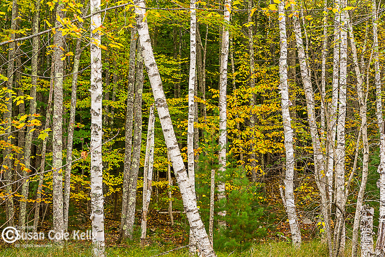 Fall foliage on the Jessup Trail in Acadia National Park, Maine, USA